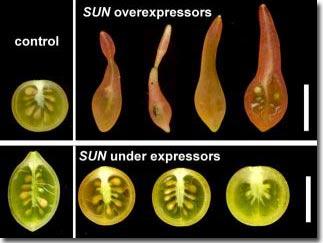 Khám phá loại gien hình thành hình dáng trái cây