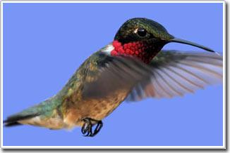 Nghiên cứu não chim để giải quyết câu hỏi về khả năng học nói
