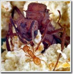 """Sự """"tham nhũng"""" của tầng lớp hoàng gia lan tràn trong thế giới loài kiến"""