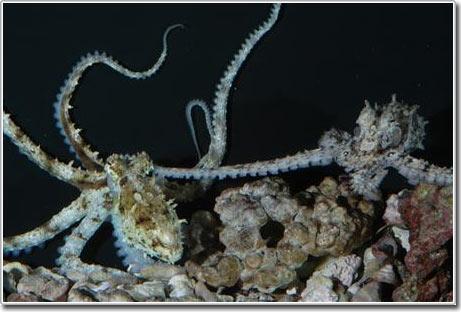 Cuộc sống tình dục kỳ lạ của bạch tuộc