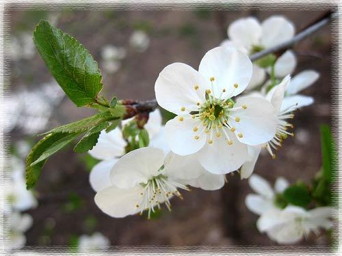 Mùa hoa anh đào nở