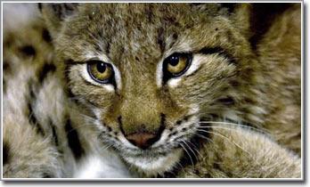 Ý: mèo rừng trở lại Alps sau 100 năm