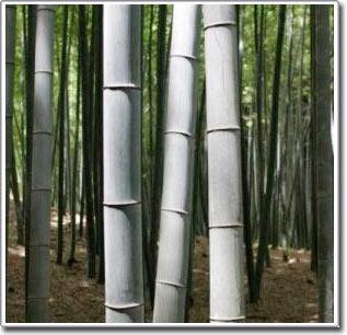 Cải thiện nguyên liệu sợi từ cây tre