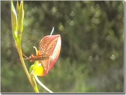 Phong lan lừa ong đực xuất tinh
