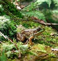 Phát hiện những con ếch lưỡng tính ở vùng ngoại ô
