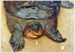 Tìm thấy loài rùa lớn được xem là đã tuyệt chủng ở Việt Nam
