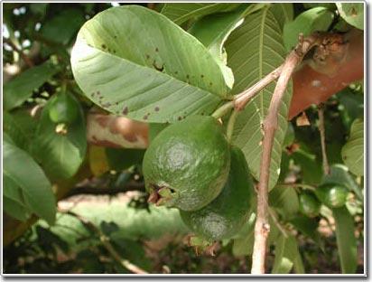 Bao trái ổi bằng túi nylon để chống sâu bệnh