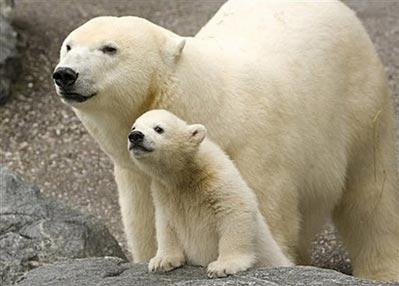 Ngộ nghĩnh mẹ con gấu trắng