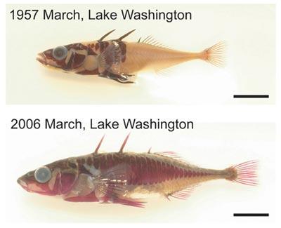 """<i>""""Sự tiến hóa ngược""""</i> ghi nhận được ở cá vùng Seattle (Mỹ)"""