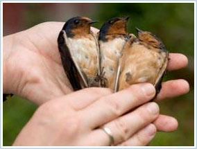Bộ lông tạo nên bản lĩnh của chim én đực