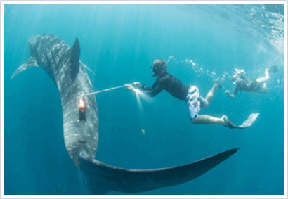 """Cá mập voi - những <i>""""phi công chiến đấu""""</i> của biển cả"""