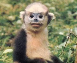Gần 1/2 động vật linh trưởng có nguy cơ tuyệt chủng
