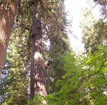 Vì sao cây không thể cao mãi