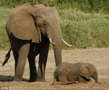 Trí nhớ giúp voi sống sót trong cuộc chiến sinh tồn