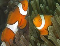 Vì sao cá hề Nemo tìm thấy đường về nhà?
