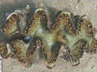 Phát hiện loài trai khổng lồ ở biển Đỏ