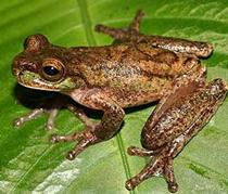 Phát hiện loài ếch tuyệt chủng 20 năm trước