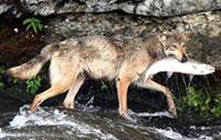 Chó sói thích câu cá hơn săn bắt