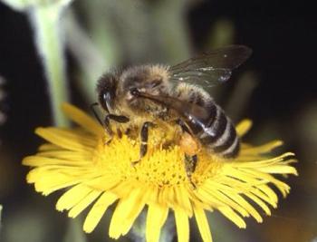 Ong 'tặng' loài người hàng trăm tỷ USD