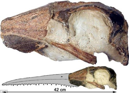 Loài vịt khổng lồ có gai nhọn trong mỏ.