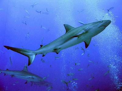 Cá mập không chồng vẫn chửa