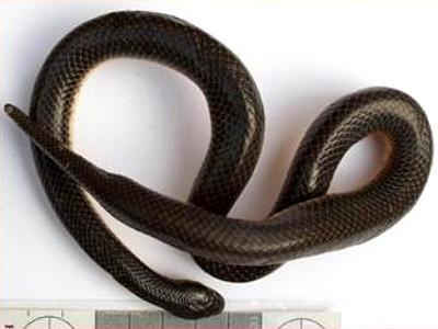 Khám phá loài rắn má chỉ có ở Vườn QG Tam Đảo