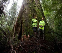 Cây thân gỗ cao nhất thế giới
