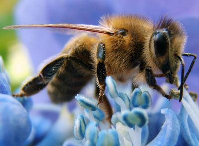 Loài ong biết đếm
