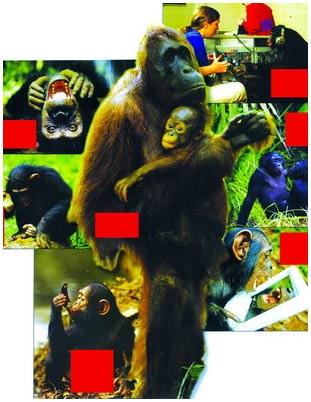 Giữa người và khỉ lớn không có mấy khác biệt