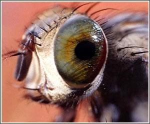 Thu nhỏ camera nhờ mắt côn trùng