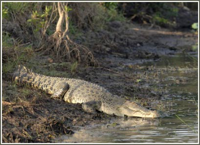 Túi nilon giết chết cá sấu