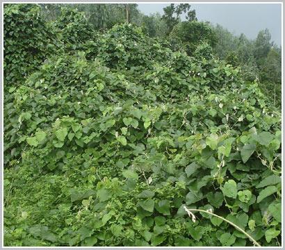Khẩn cấp diệt dây leo, cứu rừng cấm quốc gia Sơn Trà