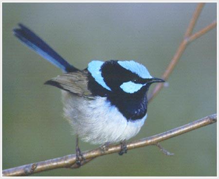 Chim biết học ngôn ngữ của loài khác