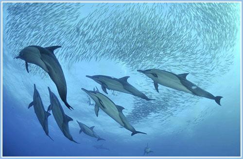 Ngoạn mục cảnh cá mập, cá heo và chim biển săn đàn cá mòi