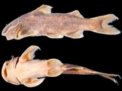 Khám phá hai loài cá chiên suối mới ở Việt Nam