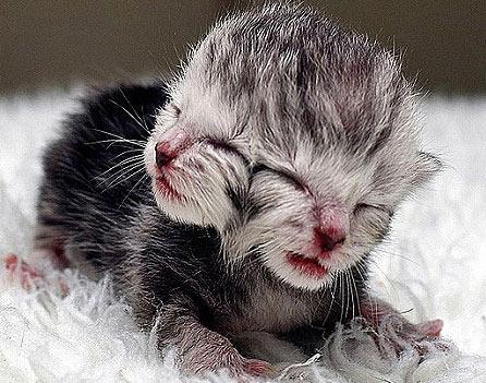 Autralia chào đón mèo 2 mặt đầu tiên