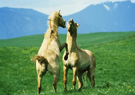 Ngựa nhận ra nhau qua tiếng hí