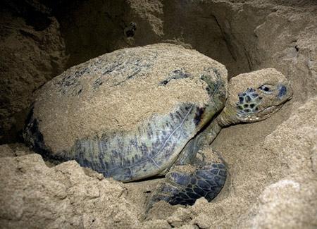 'Vượt cạn' cùng rùa biển