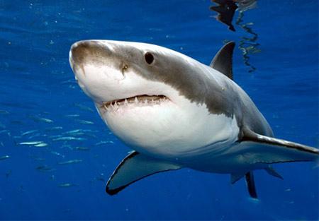 Đối mặt với cá mập trắng khổng lồ