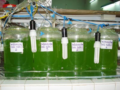 Sản xuất biodiesel từ tảo biển
