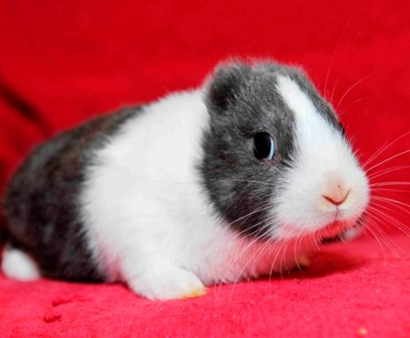 Thỏ không có tai