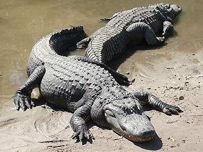 Bí ẩn cá sấu Mỹ dạo chơi xứ chuột túi