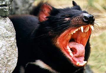 Dựng hàng rào bảo vệ 'ác quỷ' của Australia