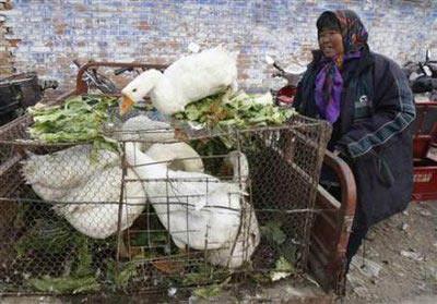 Trung Quốc ra cảnh báo cúm gia cầm