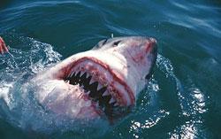 Cá mập có hàm yếu