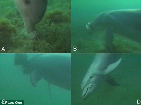 """Cá heo mũi chai - """"đầu bếp"""" tuyệt vời dưới đại dương"""