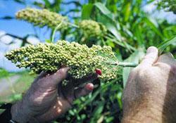 Phân tích bộ gen của loài ngũ cốc chịu nhiệt và khô hạn trước nguy cơ biến đổi khí hậu.