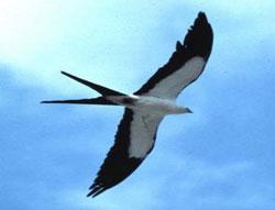 Chim én bay nhanh ngoài sức tưởng tượng