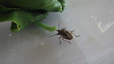 Thuốc trừ sâu từ… bọ xít