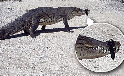 Đuổi cá sấu bằng nam châm